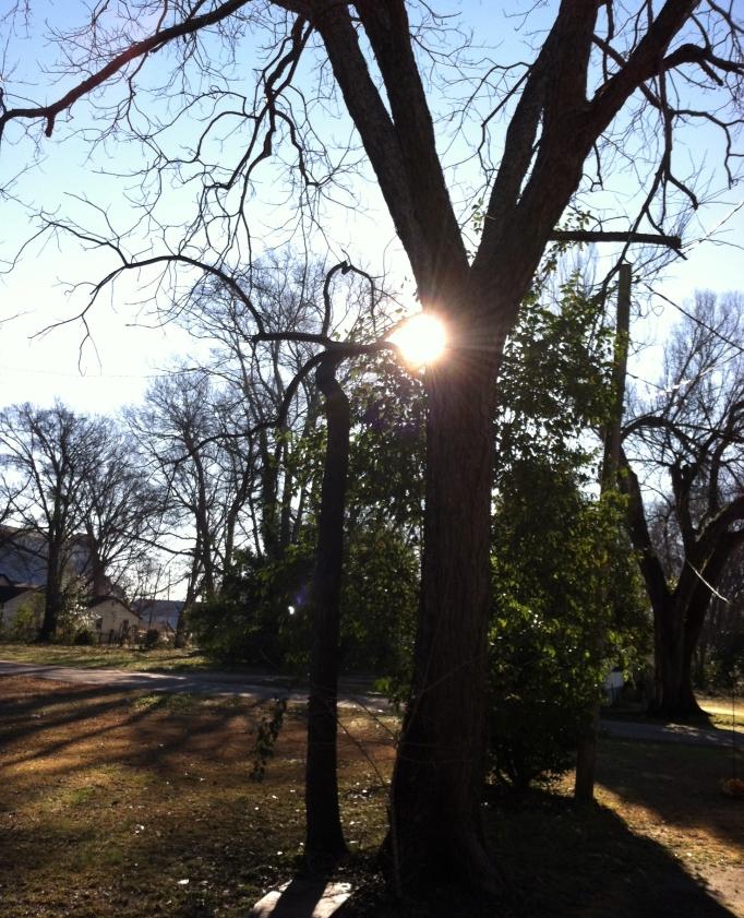 My pecan tree